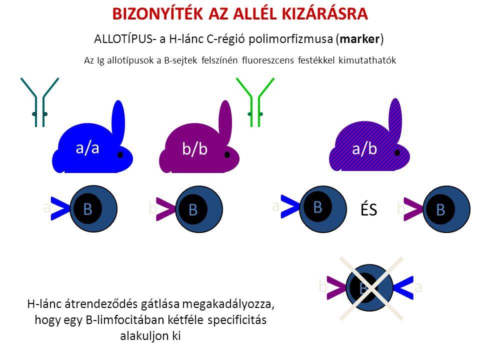 BIZONYÍTÉK AZ ALLÉL KIZÁRÁSRA Az Ig allotípusok a B-sejtek felszínén fluoreszcens festékkel kimutathatók a/a b/b a/b Y B b Y B a Y B b Y Y B ab Y B a ÉS ALLOTÍPUS- a H-lánc C-régió polimorfizmusa (marker) H-lánc átrendeződés gátlása megakadályozza, hogy egy B-limfocitában kétféle specificitás alakuljon ki