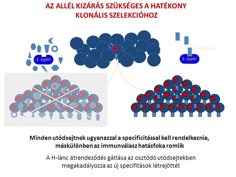 AZ ALLÉL KIZÁRÁS SZÜKSÉGES A HATÉKONY KLONÁLIS SZELEKCIÓHOZ Minden utódsejtnek ugyanazzal a specificitással kell rendelkeznie, máskülönben az immunvál