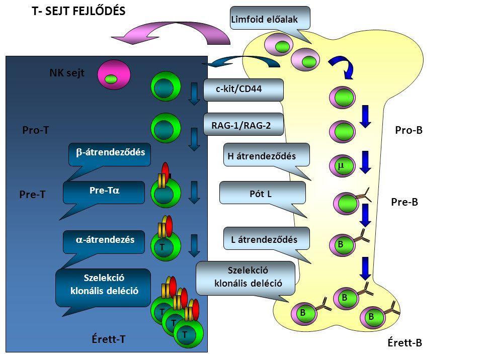 T- SEJT FEJLŐDÉS NK sejt Pro-T  -átrendezés T Pre-T  -átrendeződés Pre-T  Szelekció klonális deléció T T T Érett-T Limfoid előalak Érett-B c-kit/CD44 H átrendeződés Pót L L átrendeződés Szelekció klonális deléció B B B B  Pro-B Pre-B RAG-1/RAG-2
