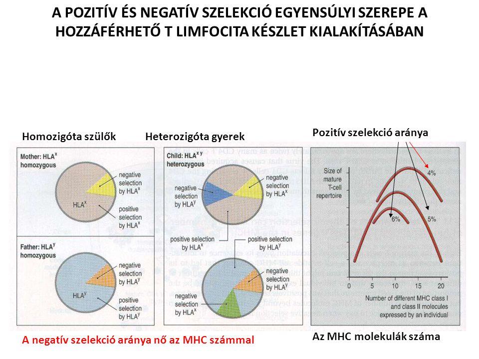 Homozigóta szülők Heterozigóta gyerek A POZITÍV ÉS NEGATÍV SZELEKCIÓ EGYENSÚLYI SZEREPE A HOZZÁFÉRHETŐ T LIMFOCITA KÉSZLET KIALAKÍTÁSÁBAN Az MHC molekulák száma Pozitív szelekció aránya A negatív szelekció aránya nő az MHC számmal