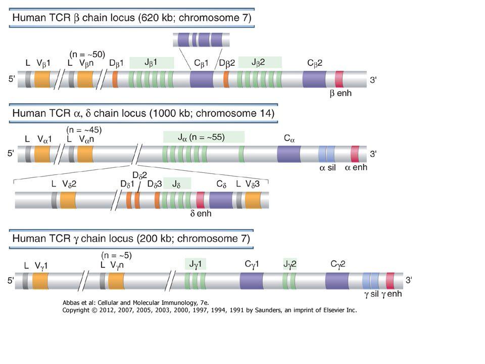 A pre-B sejt receptor stimulálásának következményei 1.Biztosítja az egyedi specificitást Nagy Pre-B Sztróma sejt Ismeretlen ligand 2.