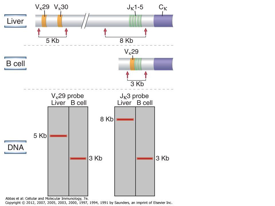 B sejt receptor Átmenetileg jelenik meg a membránban produktív V H D H J H C H  átrendeződés után VpreB/ 5 – pót L-lánc, a membrán kifejeződéshez szükséges Ig  & Ig  jelátvivő molekulák CH  H-lánc V H D H J H V-preB 5 A pre-B sejt receptor liganduma nem ismert Pre-