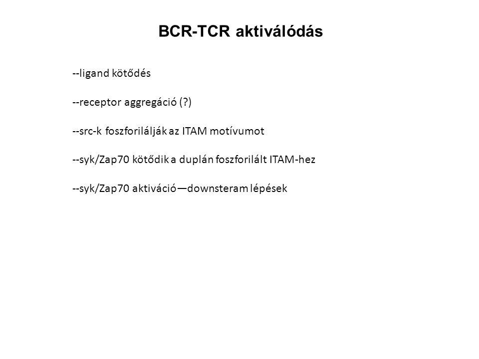 --ligand kötődés --receptor aggregáció ( ) --src-k foszforilálják az ITAM motívumot --syk/Zap70 kötődik a duplán foszforilált ITAM-hez --syk/Zap70 aktiváció—downsteram lépések BCR-TCR aktiválódás