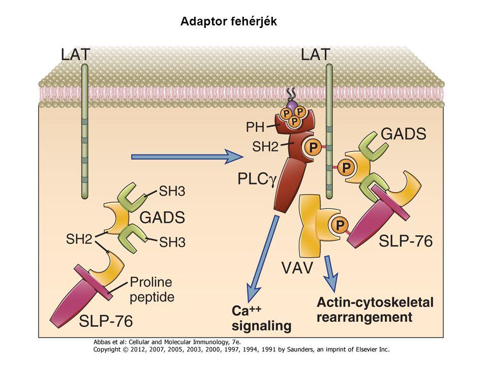 Adaptor fehérjék