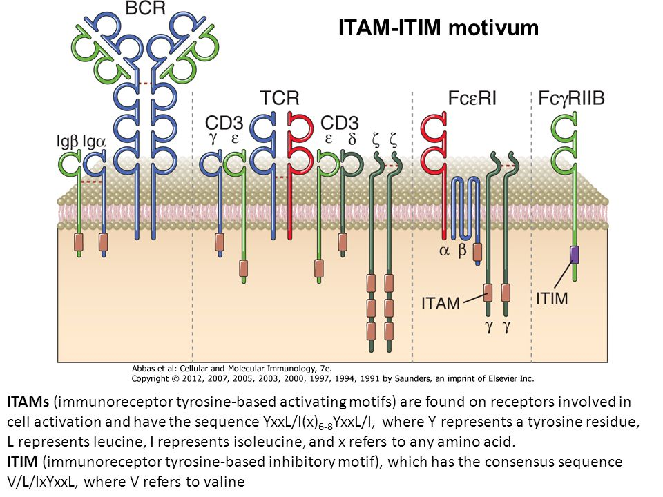 ITAMs (immunoreceptor tyrosine-based activating motifs) are found on receptors involved in cell activation and have the sequence YxxL/I(x) 6-8 YxxL/I, where Y represents a tyrosine residue, L represents leucine, I represents isoleucine, and x refers to any amino acid.