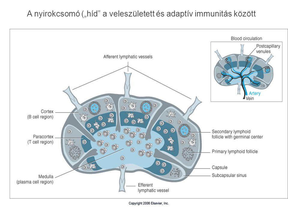 """A nyirokcsomó (""""híd"""" a veleszületett és adaptív immunitás között"""