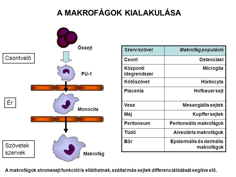 A MAKROFÁGOK RECEPTORAI, SEJTFELSZÍNI MOLEKULÁI LPS receptor (CD14) + TLR4 MHCI MHCII TLR – patogén mintázatok CR1 (CD35) CR3 (CD11b/CD18) LFA1 (CD11a/CD18) Fc  RIII (CD16) Fc  RII (CD32) Fc  RI (CD64) Ag + IgG Komplex Mannóz receptor Scavanger receptor peroxidáz hidroláz NOD receptor (PRR)