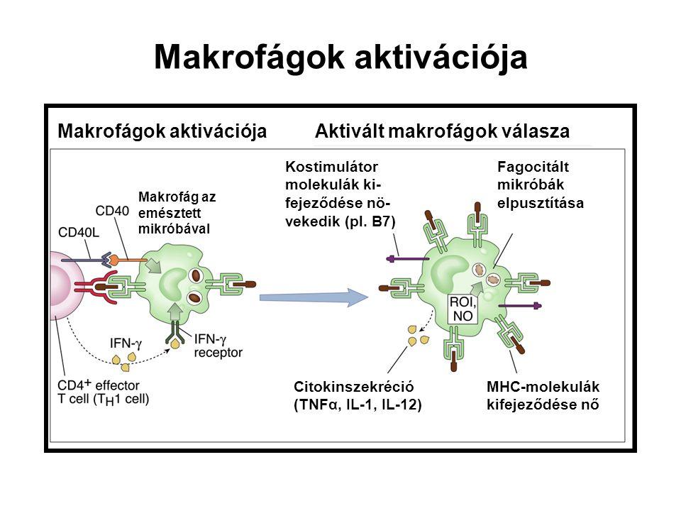 IFN  IL-12 IL-18 Th 1 sejt NK sejt Gyulladási citokinek Antimikrobiális anyagok Alternatív aktiváció: Mannóz receptor – endocitózis Th2 kemokinek NOS gátlás Szöveti regenerálódás IL-4 IL-13 Th 2 sejt Mikroorganizmusok TNF IL-6IL-12 IL-10 T sejt APC Inaktiváció Makrofágok aktivációja Gyulladási citokinek