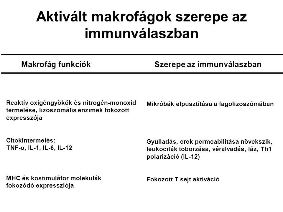 Mycobacterium fertőzés DS 1.Makrofágok fertőzése CD8+ T sejt CD4+ T sejt IL-12 2.