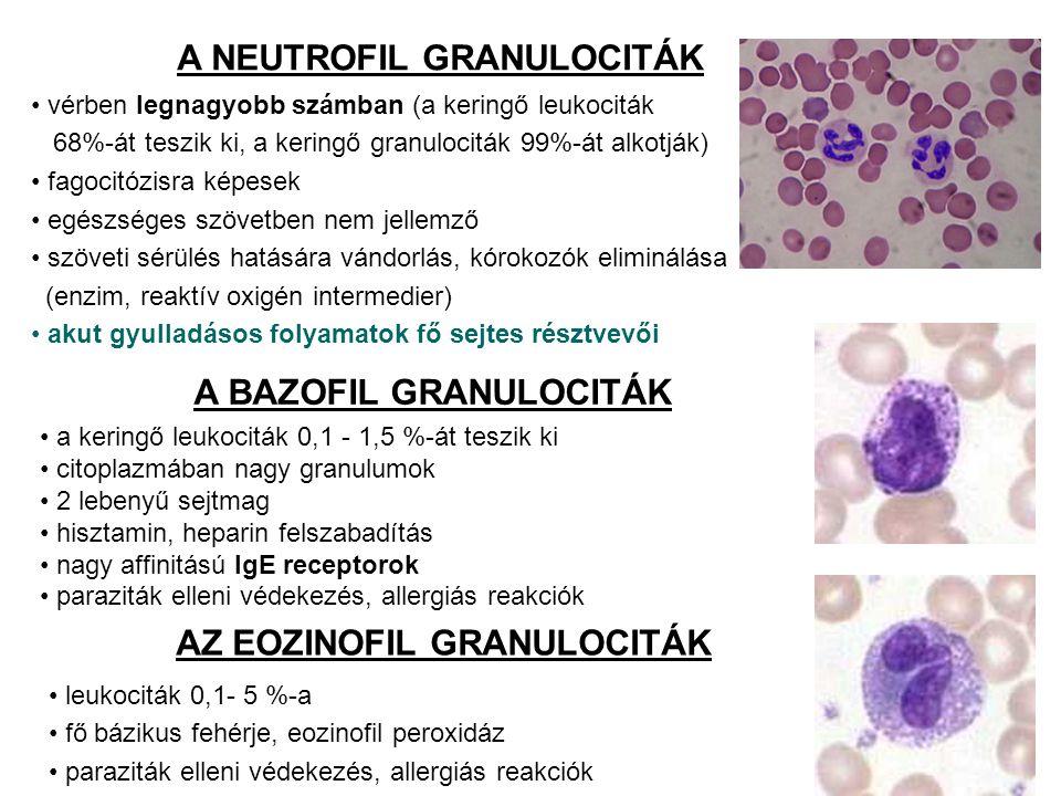 A BAZOFIL GRANULOCITÁK a keringő leukociták 0,1 - 1,5 %-át teszik ki citoplazmában nagy granulumok 2 lebenyű sejtmag hisztamin, heparin felszabadítás nagy affinitású IgE receptorok paraziták elleni védekezés, allergiás reakciók A NEUTROFIL GRANULOCITÁK vérben legnagyobb számban (a keringő leukociták 68%-át teszik ki, a keringő granulociták 99%-át alkotják) fagocitózisra képesek egészséges szövetben nem jellemző szöveti sérülés hatására vándorlás, kórokozók eliminálása (enzim, reaktív oxigén intermedier) akut gyulladásos folyamatok fő sejtes résztvevői AZ EOZINOFIL GRANULOCITÁK leukociták 0,1- 5 %-a fő bázikus fehérje, eozinofil peroxidáz paraziták elleni védekezés, allergiás reakciók