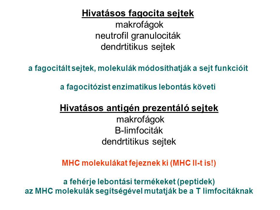 Hivatásos fagocita sejtek makrofágok neutrofil granulociták dendrtitikus sejtek a fagocitált sejtek, molekulák módosíthatják a sejt funkcióit a fagocitózist enzimatikus lebontás követi Hivatásos antigén prezentáló sejtek makrofágok B-limfociták dendrtitikus sejtek MHC molekulákat fejeznek ki (MHC II-t is!) a fehérje lebontási termékeket (peptidek) az MHC molekulák segítségével mutatják be a T limfocitáknak