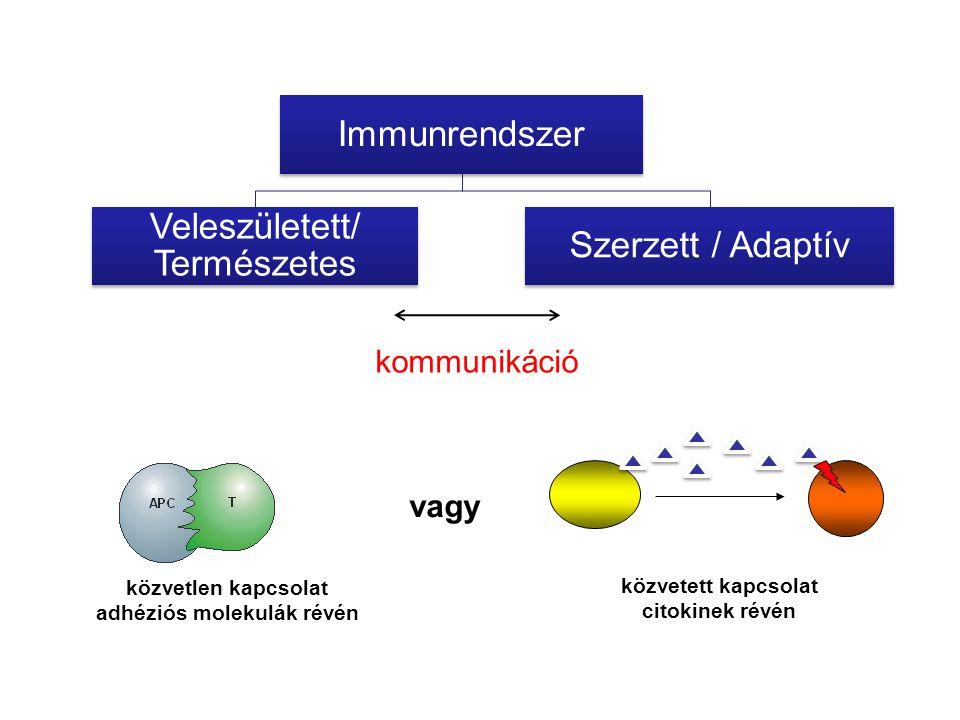 kommunikáció közvetlen kapcsolat adhéziós molekulák révén közvetett kapcsolat citokinek révén vagy Immunrendszer Veleszületett/ Természetes Szerzett /