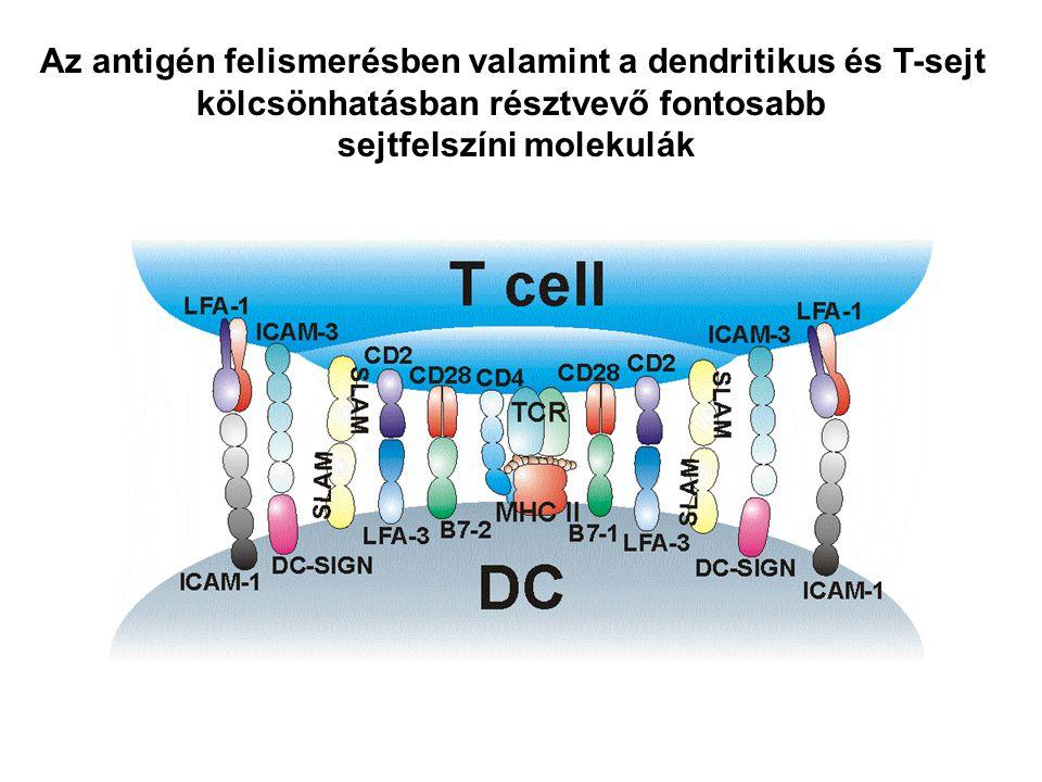 Az antigén felismerésben valamint a dendritikus és T-sejt kölcsönhatásban résztvevő fontosabb sejtfelszíni molekulák