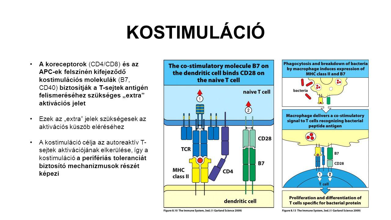 KOSTIMULÁCIÓ A koreceptorok (CD4/CD8) és az APC-ek felszínén kifejeződő kostimulációs molekulák (B7, CD40) biztosítják a T-sejtek antigén felismeréséh