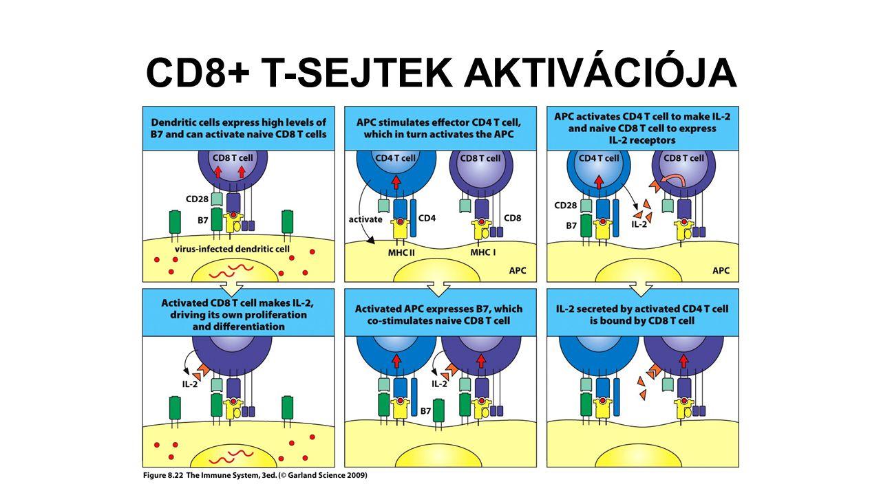 CD8+ T-SEJTEK AKTIVÁCIÓJA