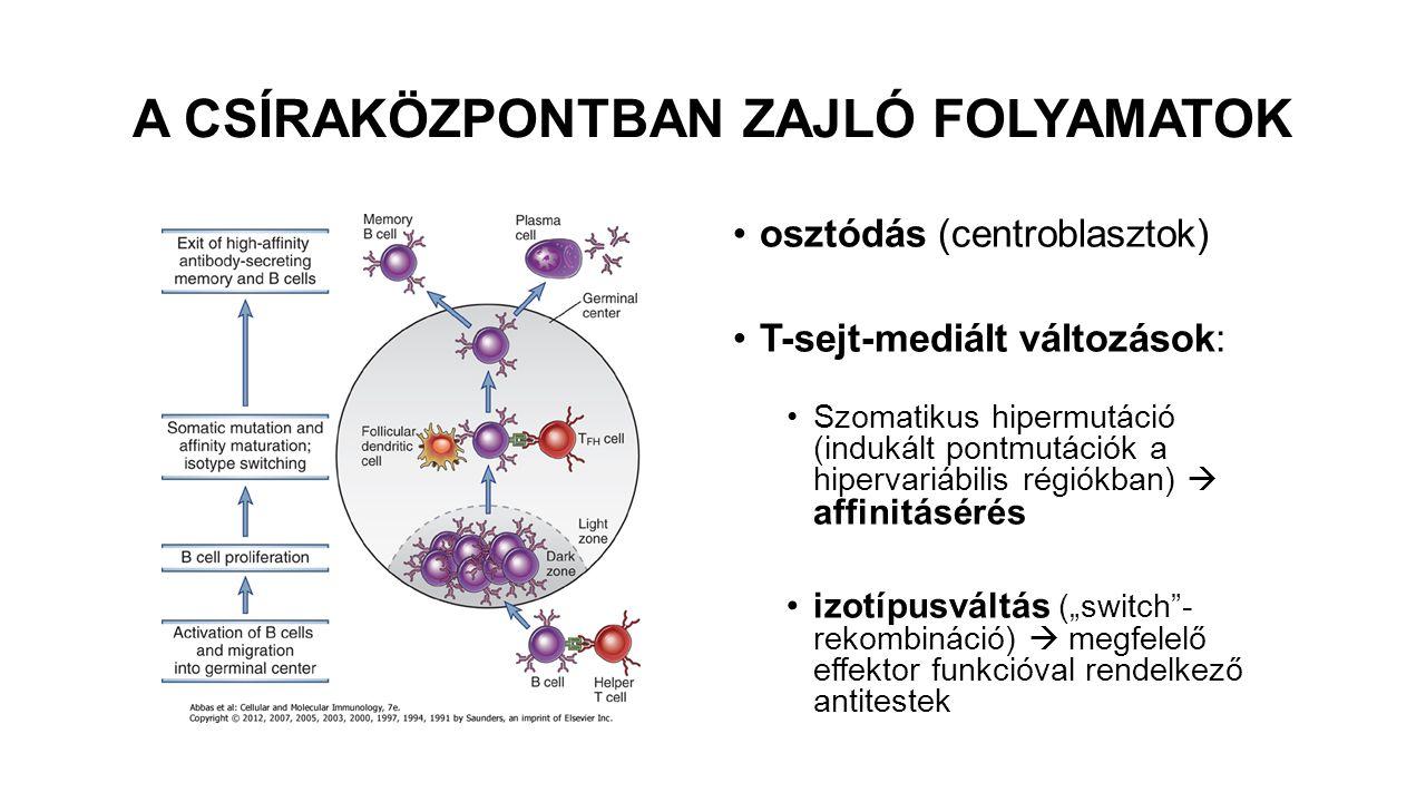 """A CSÍRAKÖZPONTBAN ZAJLÓ FOLYAMATOK osztódás (centroblasztok) T-sejt-mediált változások: Szomatikus hipermutáció (indukált pontmutációk a hipervariábilis régiókban)  affinitásérés izotípusváltás (""""switch - rekombináció)  megfelelő effektor funkcióval rendelkező antitestek"""