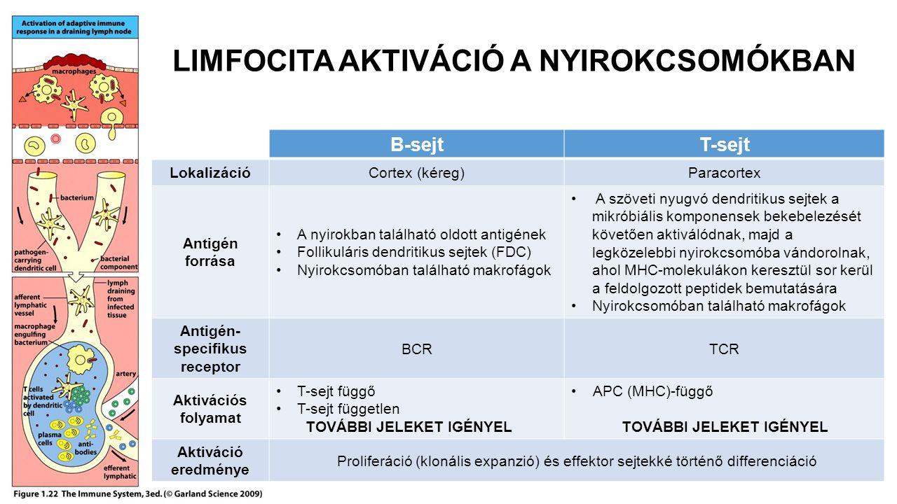 LIMFOCITA AKTIVÁCIÓ A NYIROKCSOMÓKBAN B-sejtT-sejt LokalizációCortex (kéreg)Paracortex Antigén forrása A nyirokban található oldott antigének Follikuláris dendritikus sejtek (FDC) Nyirokcsomóban található makrofágok A szöveti nyugvó dendritikus sejtek a mikróbiális komponensek bekebelezését követően aktiválódnak, majd a legközelebbi nyirokcsomóba vándorolnak, ahol MHC-molekulákon keresztül sor kerül a feldolgozott peptidek bemutatására Nyirokcsomóban található makrofágok Antigén- specifikus receptor BCRTCR Aktivációs folyamat T-sejt függő T-sejt független TOVÁBBI JELEKET IGÉNYEL APC (MHC)-függő TOVÁBBI JELEKET IGÉNYEL Aktiváció eredménye Proliferáció (klonális expanzió) és effektor sejtekké történő differenciáció