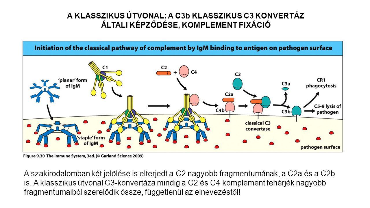 A KLASSZIKUS ÚTVONAL: A C3b KLASSZIKUS C3 KONVERTÁZ ÁLTALI KÉPZŐDÉSE, KOMPLEMENT FIXÁCIÓ A szakirodalomban két jelölése is elterjedt a C2 nagyobb frag