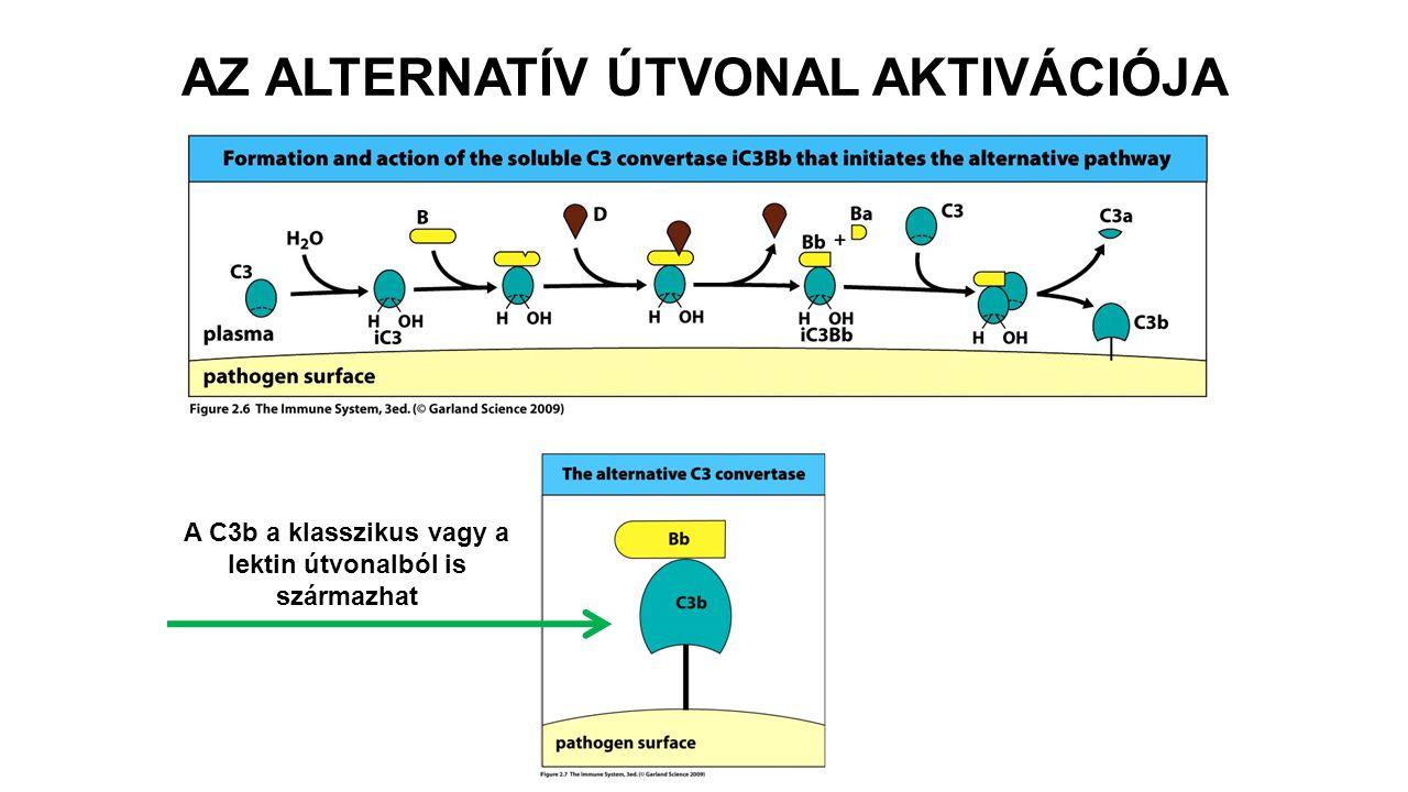 AZ ALTERNATÍV ÚTVONAL AKTIVÁCIÓJA A C3b a klasszikus vagy a lektin útvonalból is származhat