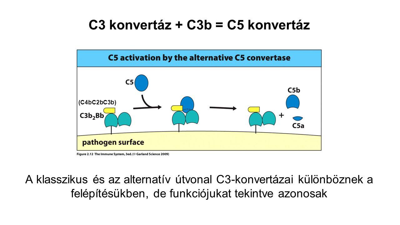 C3 konvertáz + C3b = C5 konvertáz (C4bC2bC3b) A klasszikus és az alternatív útvonal C3-konvertázai különböznek a felépítésükben, de funkciójukat tekin