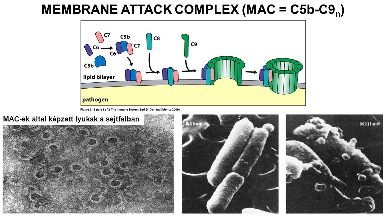 MAC-ek által képzett lyukak a sejtfalban MEMBRANE ATTACK COMPLEX (MAC = C5b-C9 n )