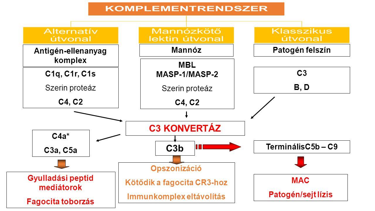 Antigén-ellenanyag komplex MannózPatogén felszín C1q, C1r, C1s Szerin proteáz C4, C2 MBL MASP-1/MASP-2 Szerin proteáz C4, C2 C3 B, D C3 KONVERTÁZ C4a*