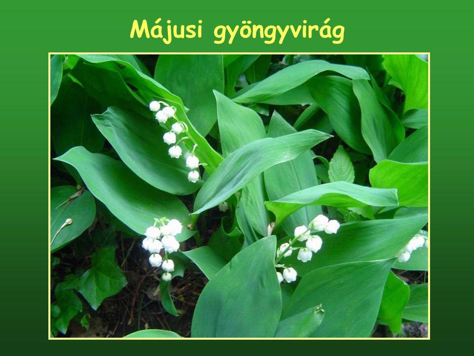 Májusi gyöngyvirág