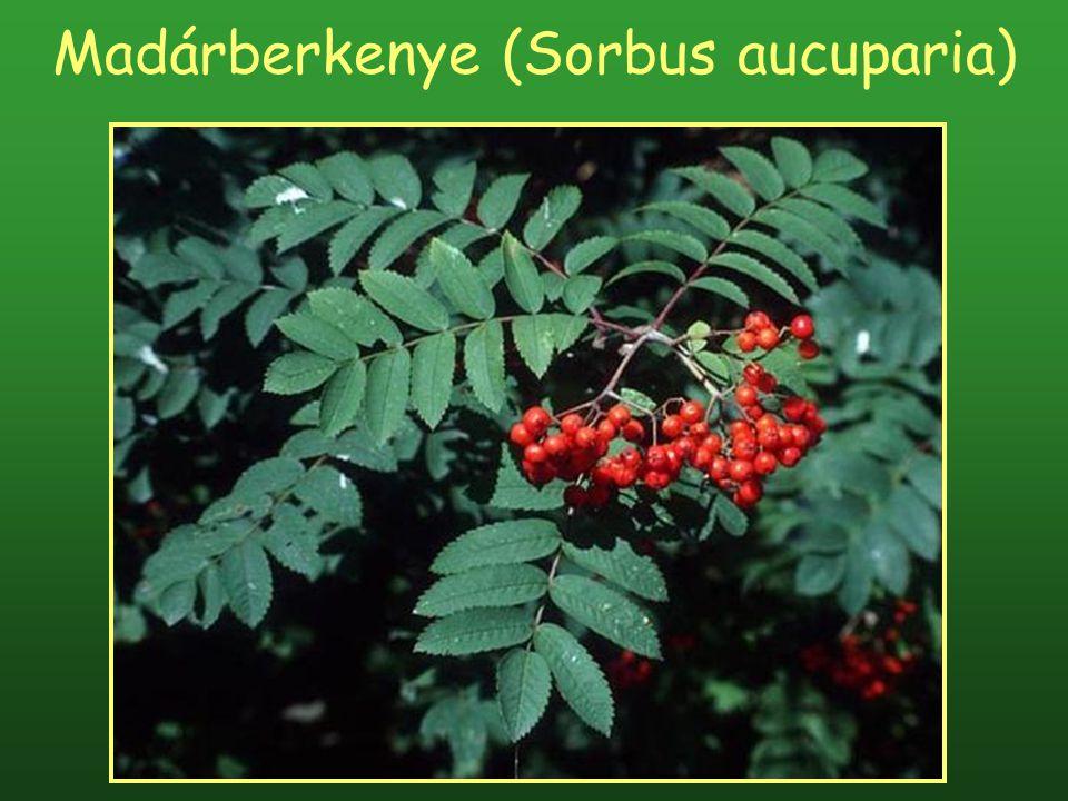 Madárberkenye (Sorbus aucuparia)
