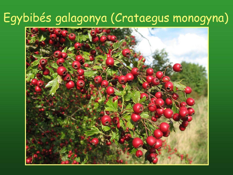 Egybibés galagonya (Crataegus monogyna)