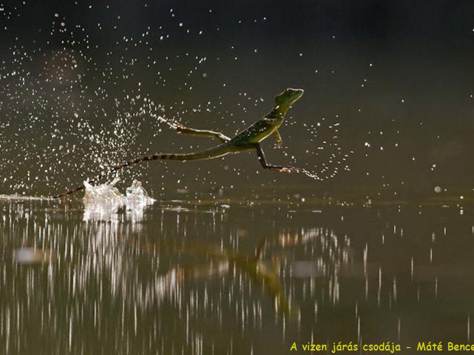 A vizen járás csodája - Máté Bence