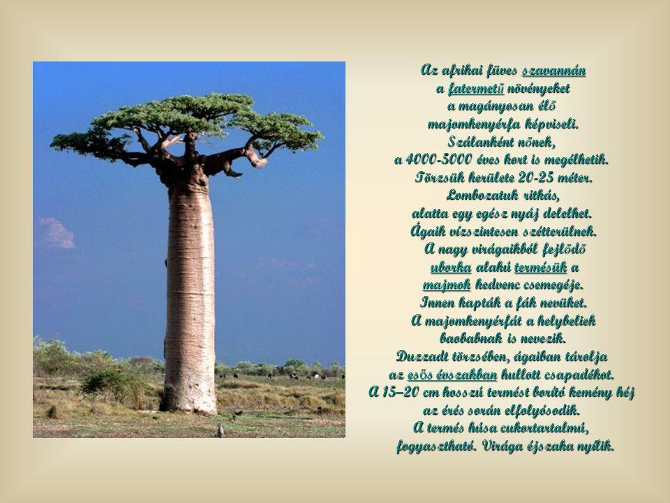 Az afrikai füves szavannán szavannán a fatermet ű növényeket a fatermet ű növényeketfatermet űfatermet ű a magányosan él ő majomkenyérfa képviseli.