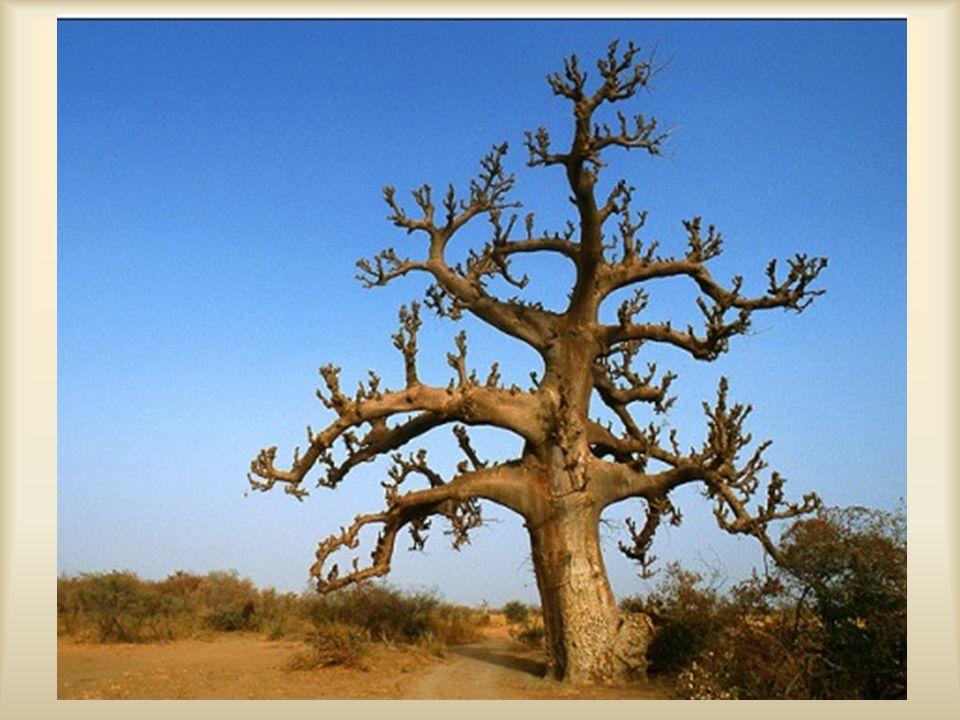Els ő pillantásra úgy t ű nik, mintha valóban a fa gyökerei Els ő pillantásra úgy t ű nik, mintha valóban a fa gyökerei meredeznének az ég felé, mert a Baobabfa ágszerkezete teljesen gyökérszer ű.