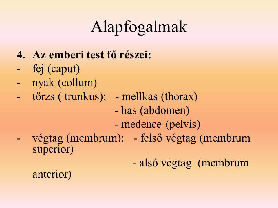 Alapfogalmak 4.Az emberi test fő részei: -fej (caput) -nyak (collum) -törzs ( trunkus): - mellkas (thorax) - has (abdomen) - medence (pelvis) -végtag
