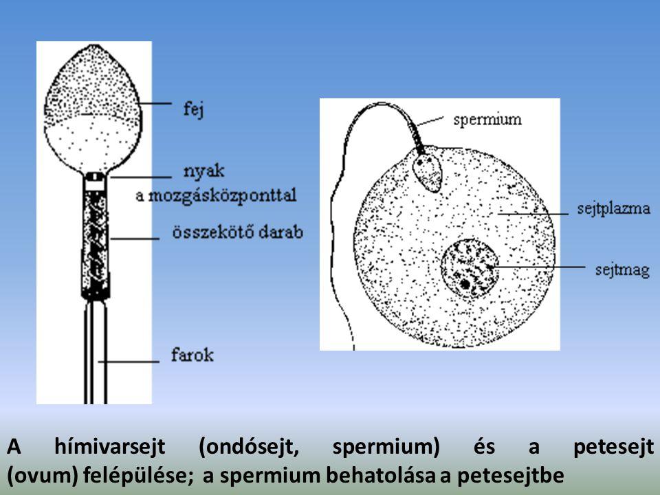 A hímivarsejt (ondósejt, spermium) és a petesejt (ovum) felépülése; a spermium behatolása a petesejtbe