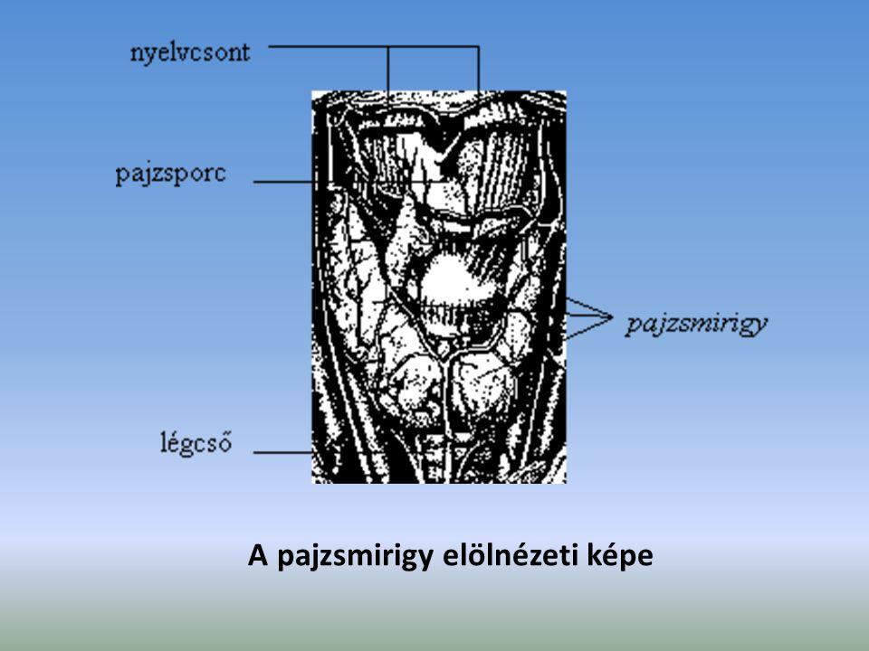 A pajzsmirigy elölnézeti képe