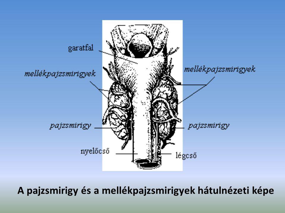 A pajzsmirigy és a mellékpajzsmirigyek hátulnézeti képe