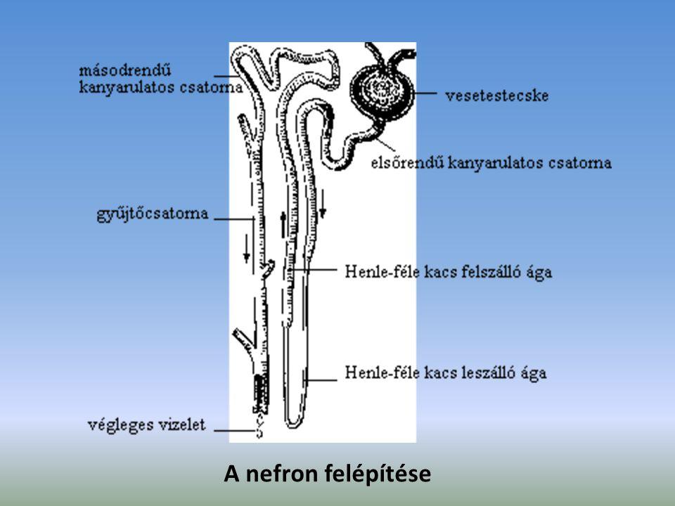 A nefron felépítése
