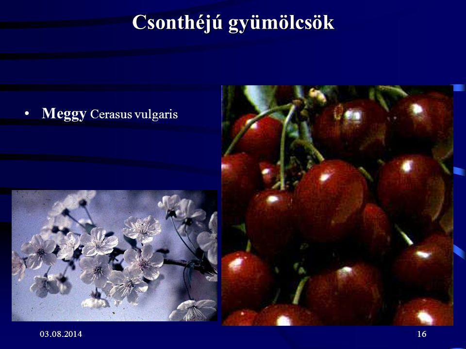 03.08.201416 Csonthéjú gyümölcsök Meggy Cerasus vulgaris