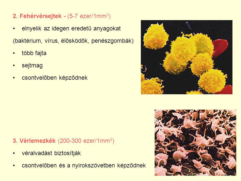 2. Fehérvérsejtek - (5-7 ezer/1mm 3 ) elnyelik az idegen eredetű anyagokat (baktérium, vírus, élősködők, penészgombák) több fajta sejtmag csontvelőben