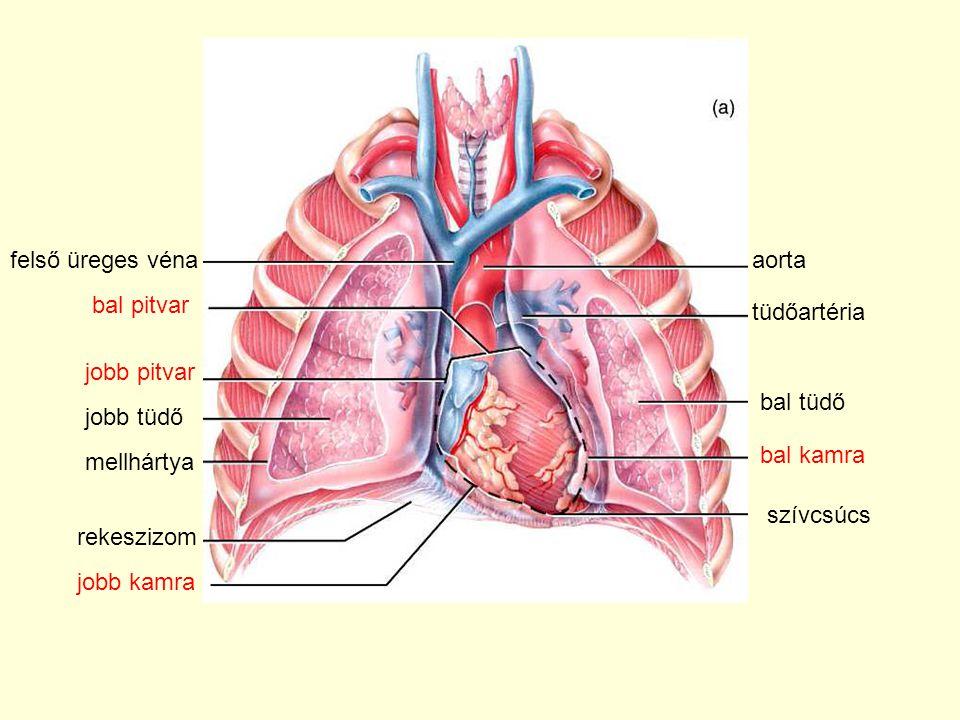 aortafelső üreges véna bal pitvar jobb pitvar jobb tüdő bal tüdő tüdőartéria szívcsúcs bal kamra mellhártya rekeszizom jobb kamra