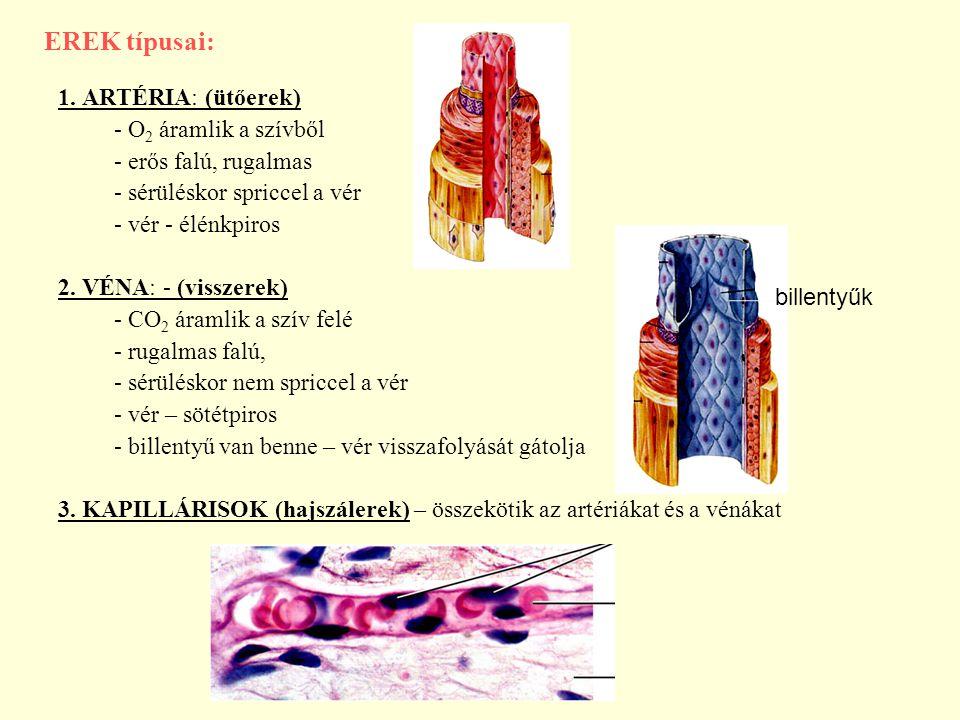 EREK típusai: 1. ARTÉRIA: (ütőerek) - O 2 áramlik a szívből - erős falú, rugalmas - sérüléskor spriccel a vér - vér - élénkpiros 2. VÉNA: - (visszerek