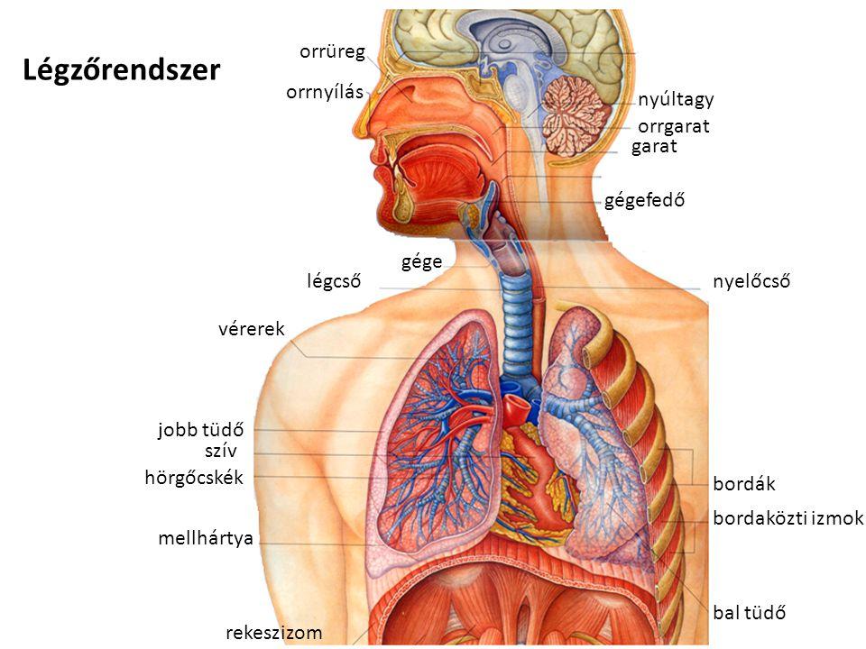 Légzőrendszer orrüreg orrnyílás gége légcső nyúltagy garat orrgarat gégefedő nyelőcső bordák bordaközti izmok bal tüdő rekeszizom szív jobb tüdő hörgő