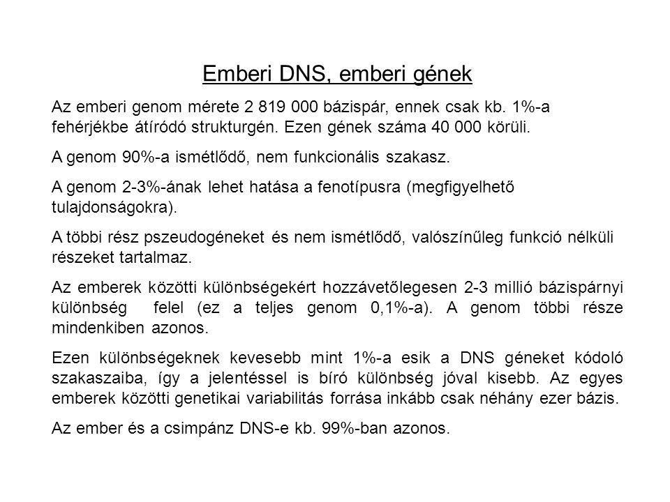 Emberi DNS, emberi gének Az emberi genom mérete 2 819 000 bázispár, ennek csak kb.