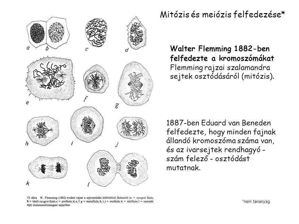 1887-ben Eduard van Beneden felfedezte, hogy minden fajnak állandó kromoszóma száma van, és az ivarsejtek rendhagyó - szám felező - osztódást mutatnak.