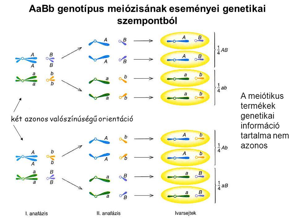 AaBb genotípus meiózisának eseményei genetikai szempontból A meiótikus termékek genetikai információ tartalma nem azonos két azonos valószínúségű orientáció