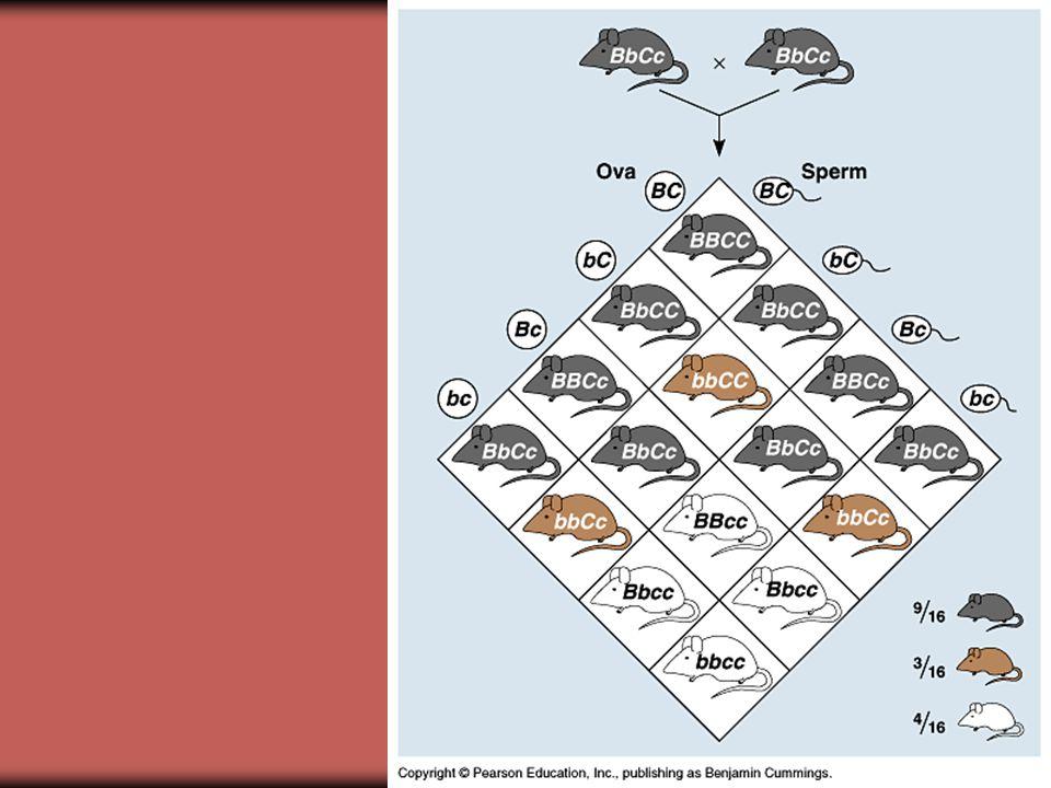 Kapcsolódási csoportok, genetikai térképezés Lednek esetében, ugyanazon a kromoszómán vannak a tulajdonságok, tehát azonos kapcsolódási csoportban A szegregációs arányt a rekombináció változtatta meg Rekombináció: a homológ kromoszómák kromatidái között lejátszódó átkétszereződés
