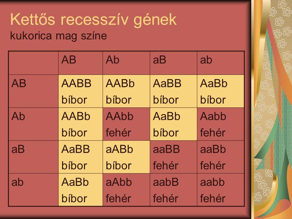 Kettős recesszív gének kukorica mag színe ABAbaBab ABAABB bíbor AABb bíbor AaBB bíbor AaBb bíbor AbAABb bíbor AAbb fehér AaBb bíbor Aabb fehér aBAaBB