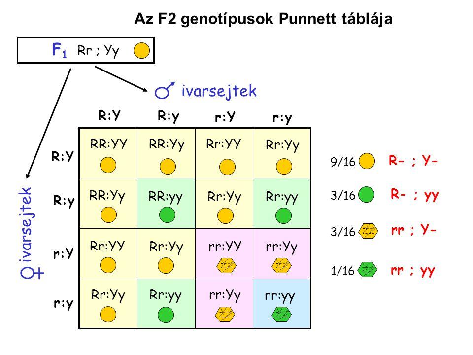 Kétgénes (dihibrid öröklésmenet) Kapcsoltság és génkölcsönhatás nélkül Kapcsolt gének