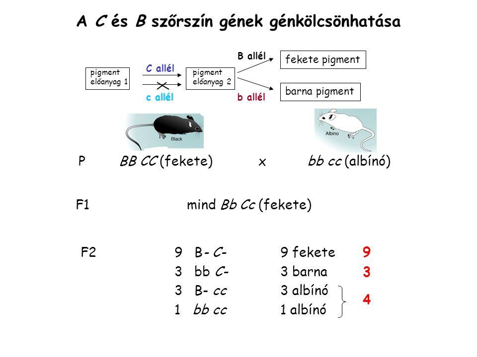 A C és B szőrszín gének recesszív episztázisa ( B=fekete sorozat C = albínó sorozat) pigment előanyag 1 előanyag 2 fekete pigment barna pigment C allél B allél b allél c allél nincs pigment = albínó