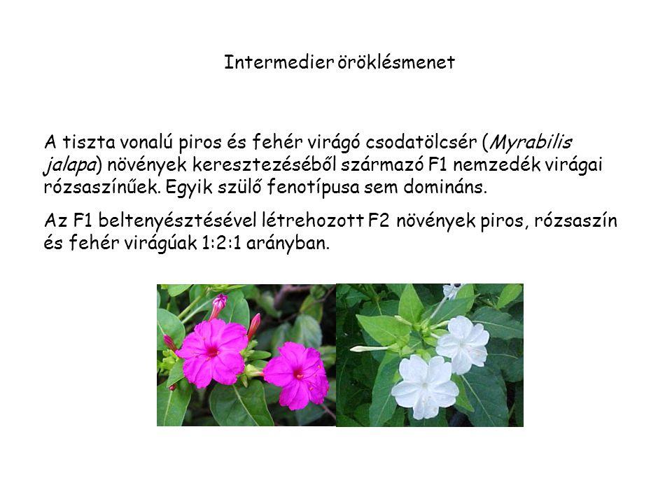 Intermedier öröklésmenet A tiszta vonalú piros és fehér virágó csodatölcsér (Myrabilis jalapa) növények keresztezéséből származó F1 nemzedék virágai rózsaszínűek.
